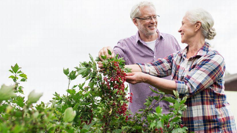 manželia, seniori, záhrada, oberanie, láska
