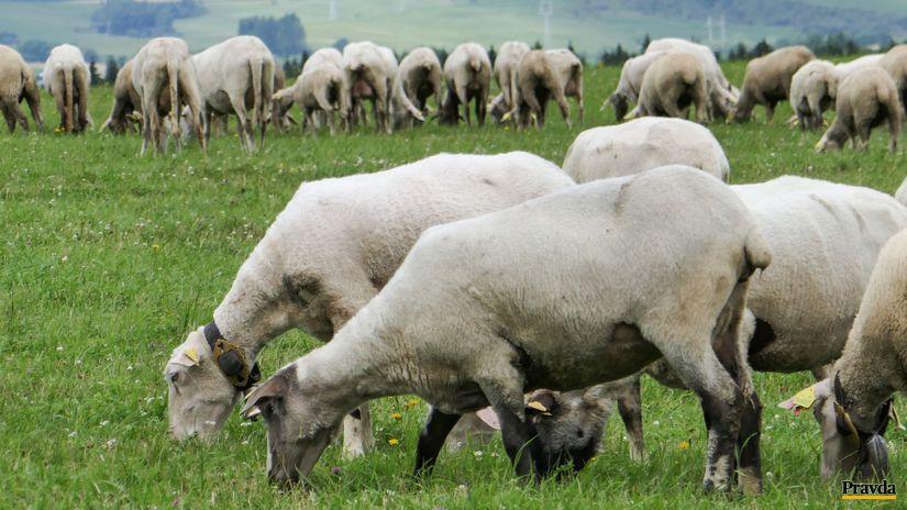 ovce, bryndza, lúka
