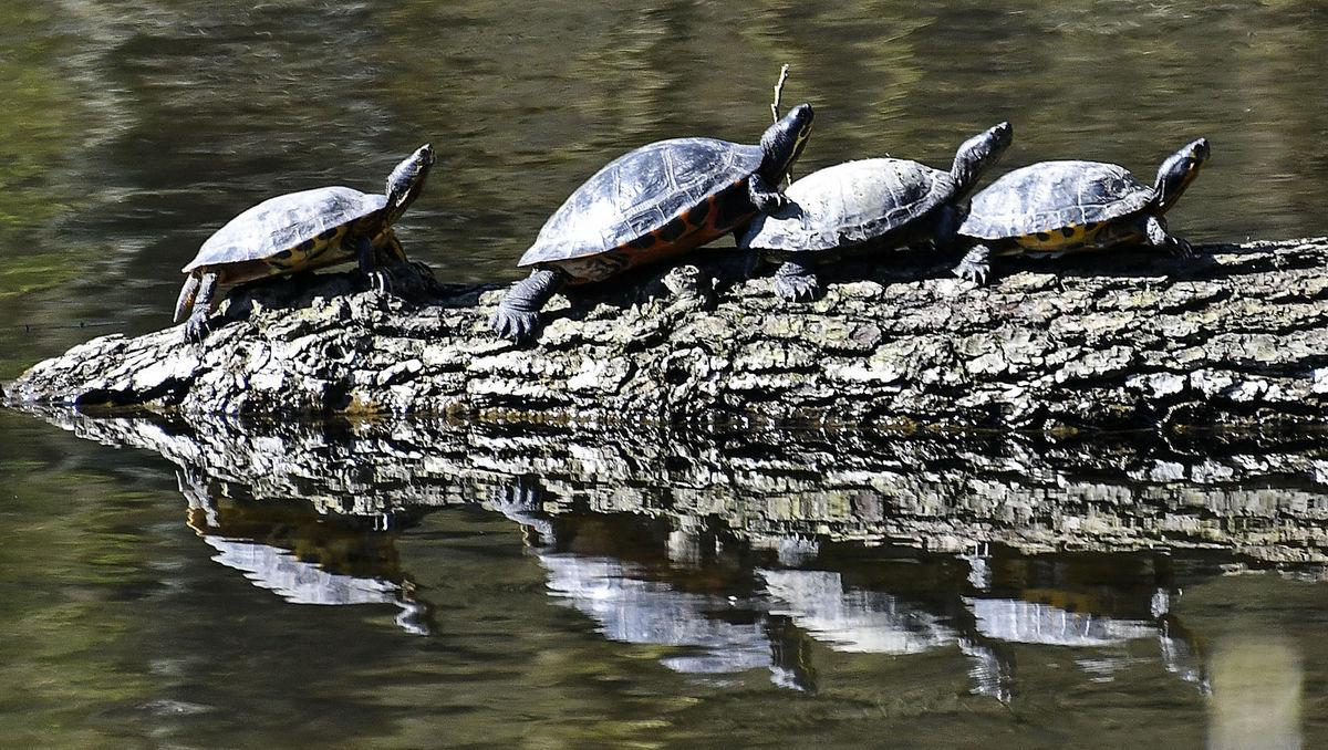 korytnačky, Nemecko,