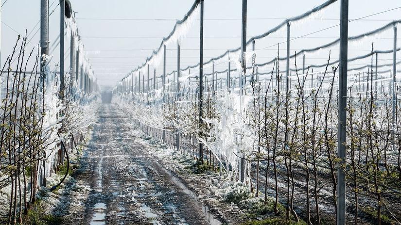 zamrznuté jabloňové sady Dunajská Lužná
