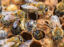 Včely / Včela /