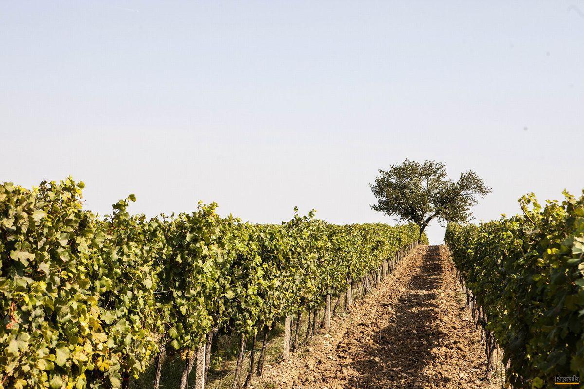Vinohrad Noviny s povestným veltlínom a storočnou čerešňou je symbolom vinárskej tradície, ktorú stelesňuje rodina Šebovcov.