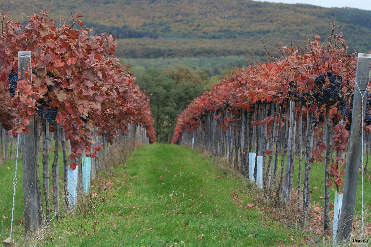 Vinica mení farby v každom ročnom období.