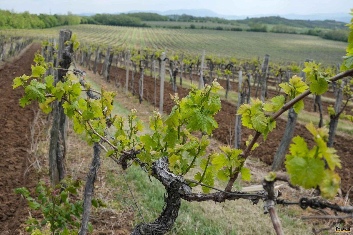 Viniče pri Château Belá. Odtiaľto pochádza špička slovenských aj európskych vín - rízling vlašský.