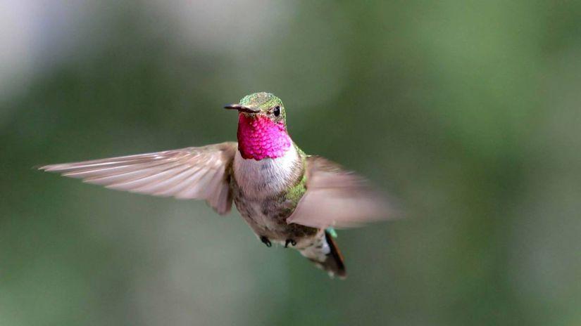 Male-Broad-tailed-Hummingbird Noah-Whiteman