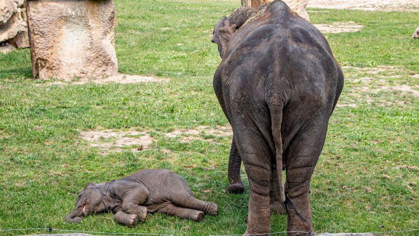 slon, slonica, mláďa, zadok, zoo