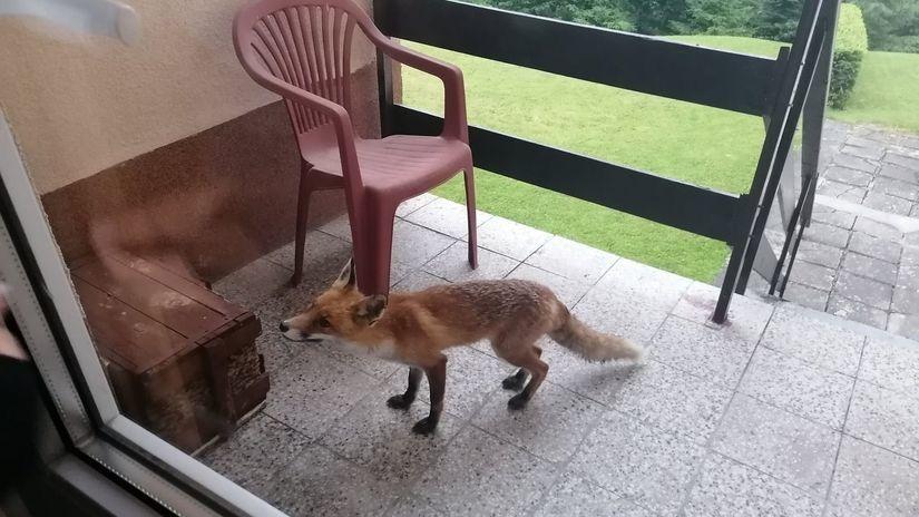 líška, besnota, Vysoké Tatry, zviera