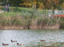 divé kačky kačice jazero rybník