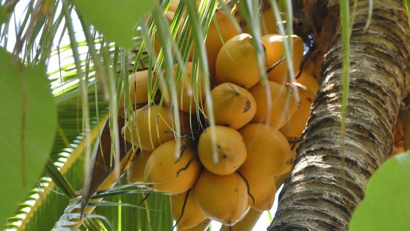 kokos, kokosový orech, palma