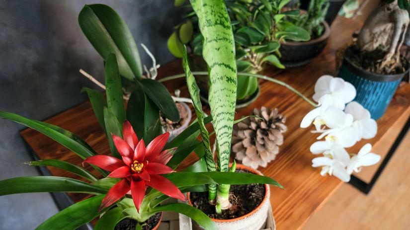kvety, bromélia, zelenec, difenbachia