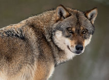 Vlk dravý / Canis lupus /