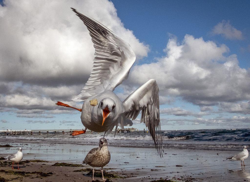 čajka, more, vtáky, Baltské more, kŕmenie