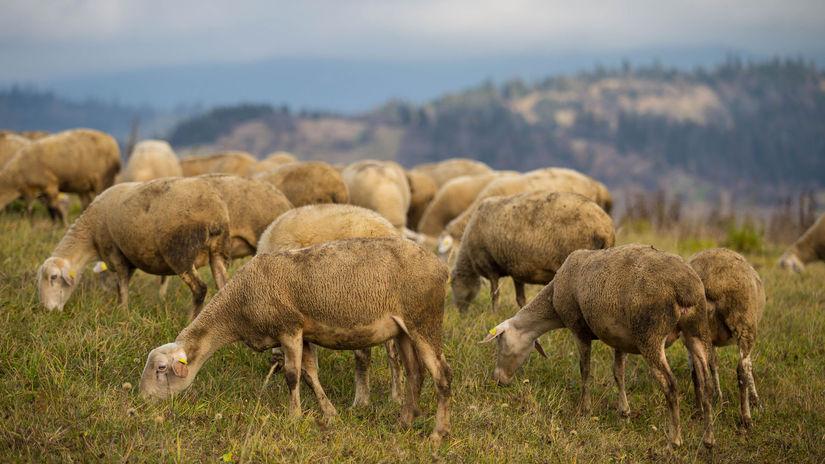 ovce, stádo, Oravská Polhora