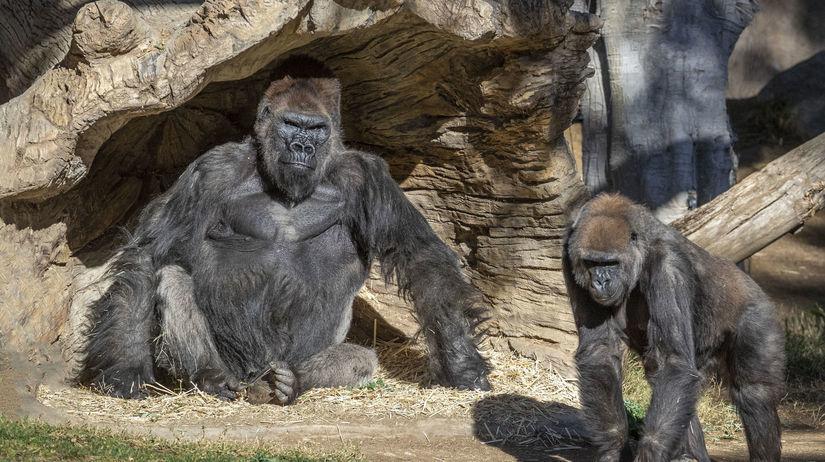 Virus Outbreak-Gorillas