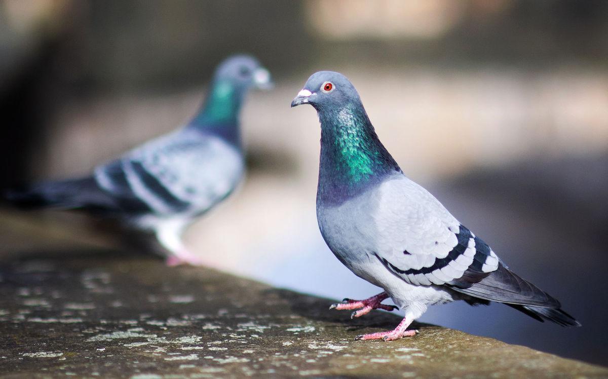 Nemecko Kolín pandémia holuby kŕmenie iniciatíva