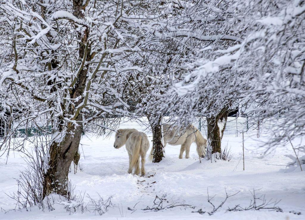 zima, sneh, zvieratá, kone