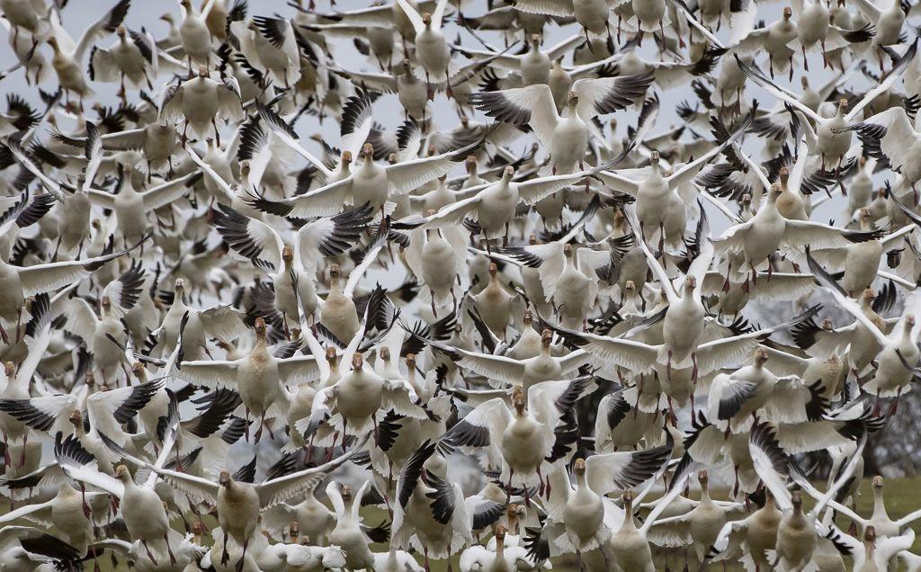 vtáky, husi