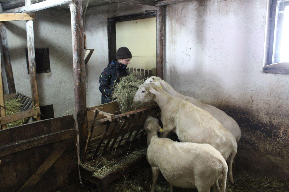 Milan Koreň, ovce, kŕmenie