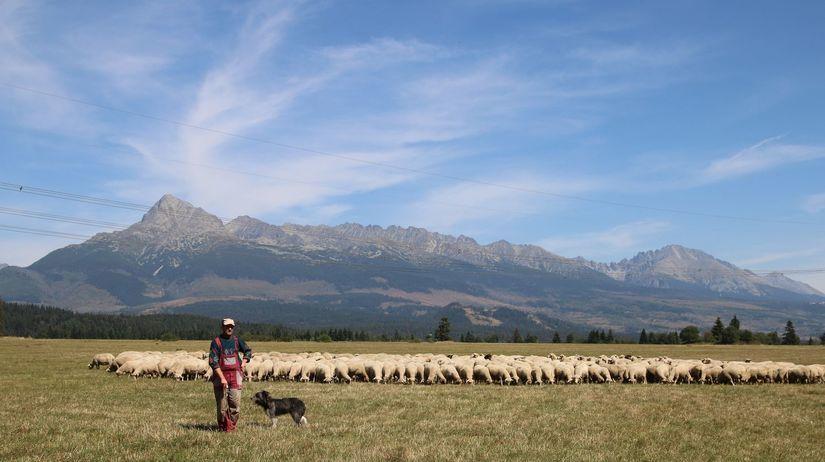 ovce, tráva, pastier, stádo, Kriváň