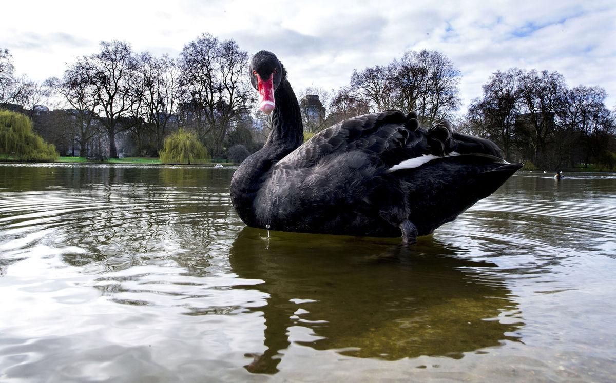 čierna labuť