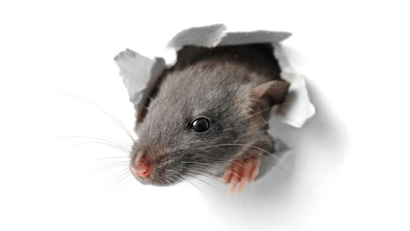 myš, hlodavec, škodca