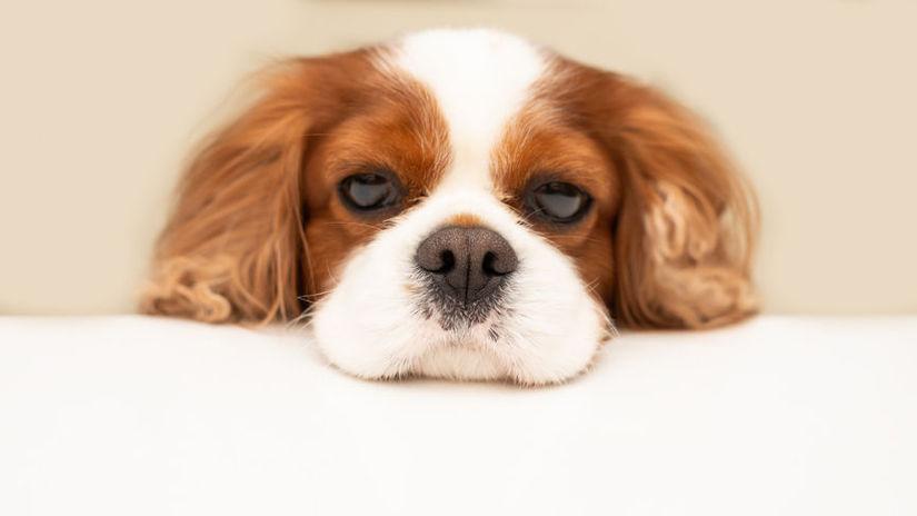 funny fluffy dog cavalier king charles spaniel...