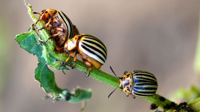 The Colorado potato beetles (Leptinotarsa...