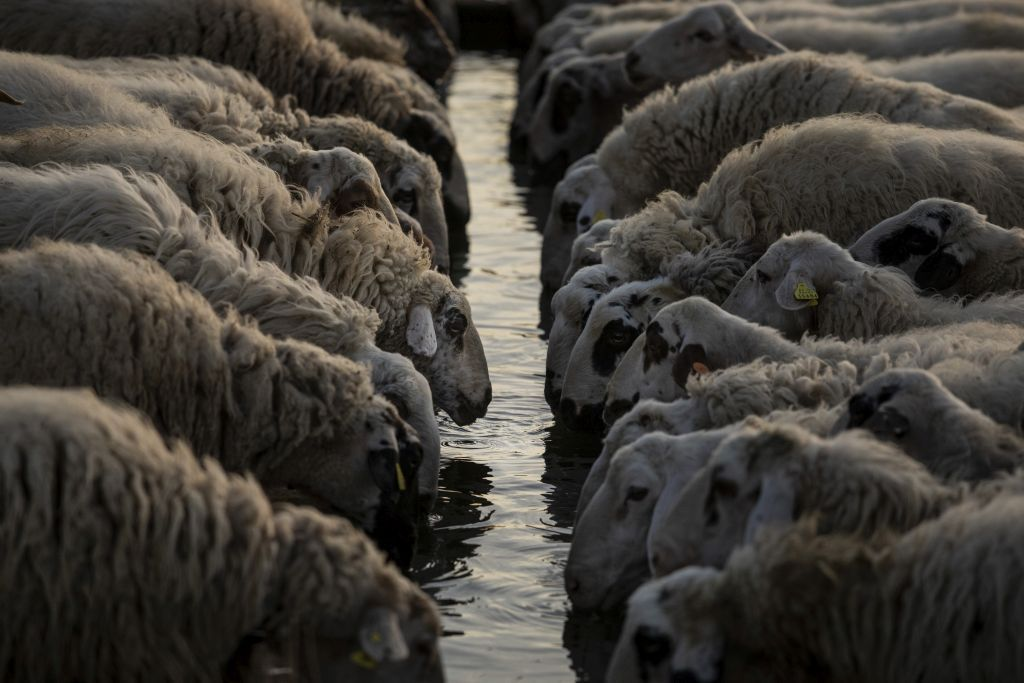 ovce, voda