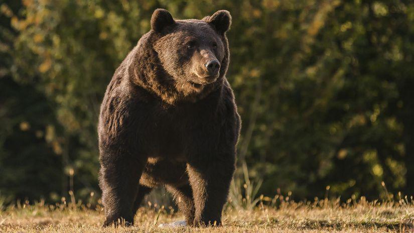 Medveď / Arthur /