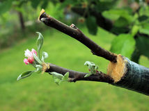 Live cuttings at grafting apple tree in cleft with growing buds, young leaves and flowers. Closeup.