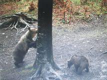 medveď domaniža