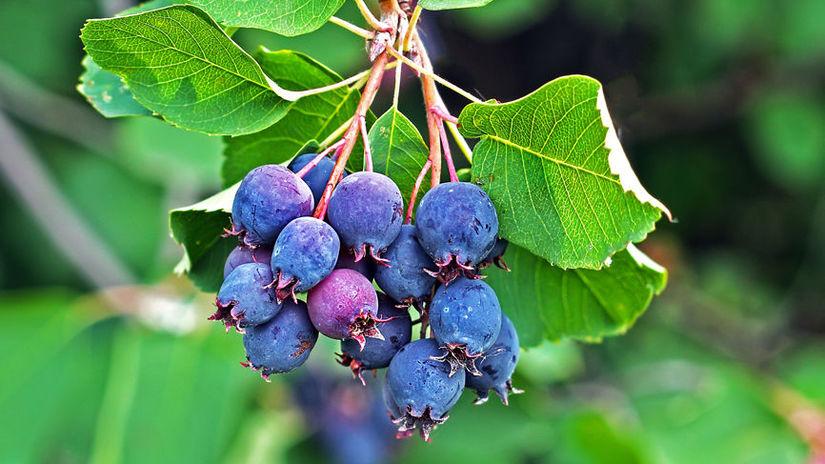 Amelanchier or Saskatoon ( Amelanchier ). Berry...