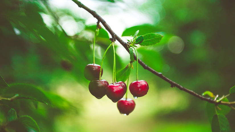 Ripe cherries hanging from a cherry tree...