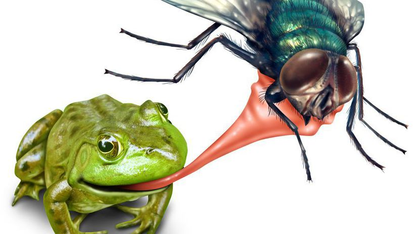 Frog catching bug with a sticky tongue shooting...