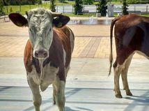 kravy poprad