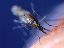 Malária / Komár / Anopheles gambiae /
