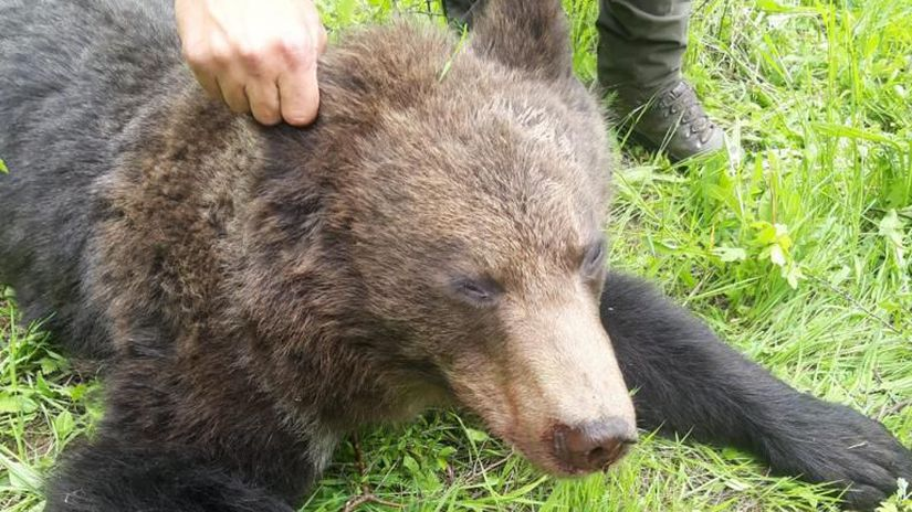 medveď, Jozef Jambor