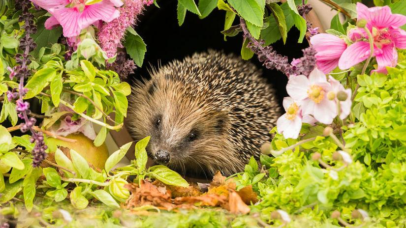 Hedgehog, a very pretty wild, native, European...