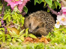 Hedgehog, a very pretty wild, native, European hedgehog surrounded by pink flowers and green foliage.  A delightful summer scene.  The hedgehog is looking forward.  Landscape. Horizontal.
