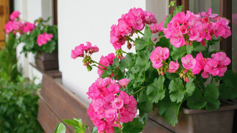 Richly blooming geranium flowers on the windows