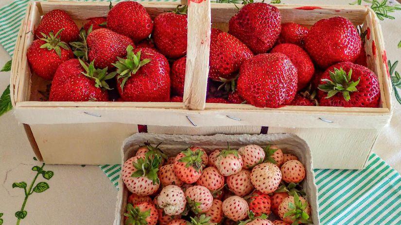 jahody, biele jahody, jahoda, odrody jahôd
