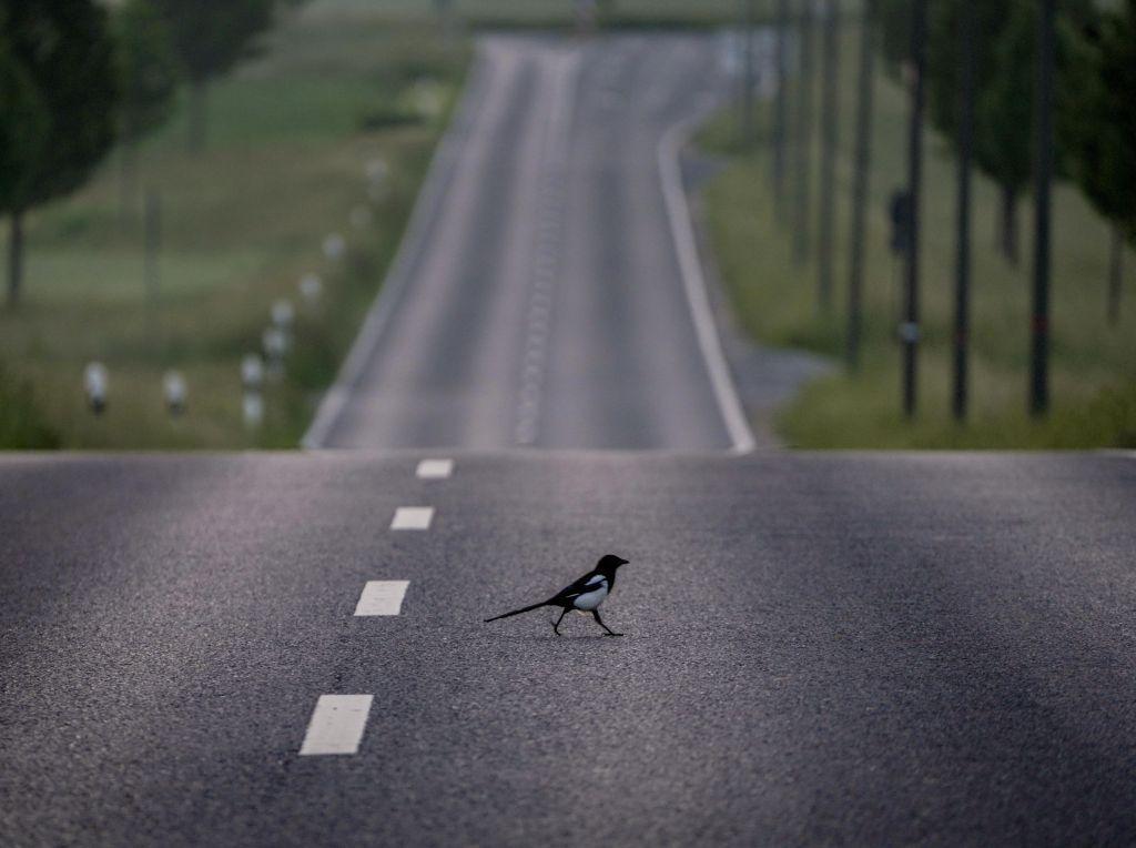 straka, cesta, vták