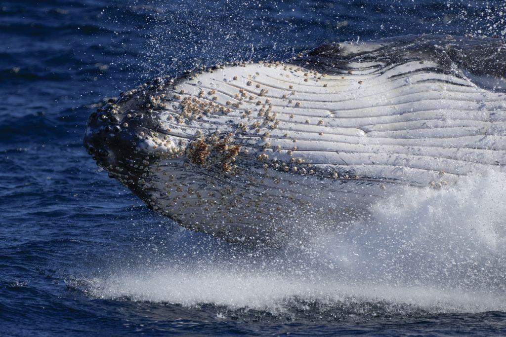 Austrália, veľryba, more, vráskavec dlhoplutvý