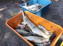 úhyn ryby Hron Budča