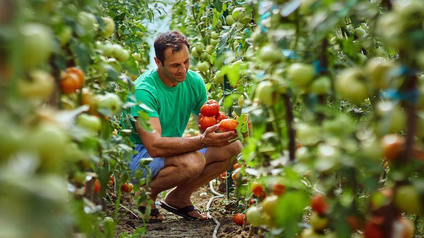 paradajky, rajčiny, oberanie, zber