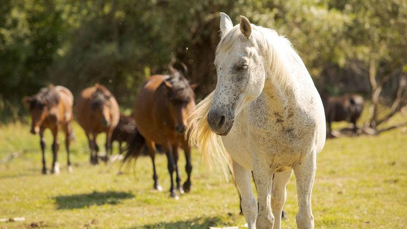 kone, stádo