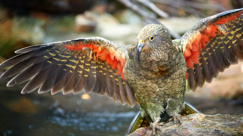 Flying alpine parrot, Kea, Nestor notabilis,...
