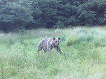 Ďalší útok medveďa na človeka: Šelma napadla pastiera oviec