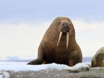 Morsa Odobenus rosmarus rosmarus en Svalbard