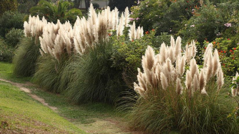 pampová tráva